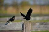 Red-winged Blackbird / Carouge a epaulettes