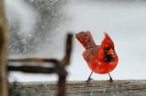 Northern Cardinal  / Cadinal rouge
