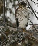Épervier brun / Sharp-shinned Hawk