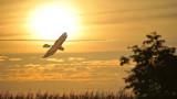 Northern Harrier / Buzard Saint Martin