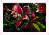 Tiger  Swallowtail on Lily