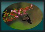 Swallowtail on Abelia Grandiflora