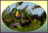 Tiger Swallowtails sharing of there favorite Butterfly bush .