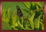Monarch Butterfly  showing her skillful grip