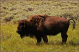 50- Bison