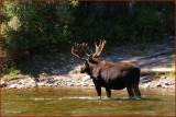 59- Moose at Grand Teton National Park