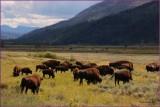 61 - Yellowsone National Park Bison Herd