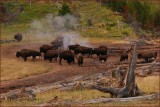 68-   Bison at Yellowstone National Park