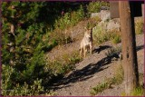 69-   Coyote  at  Yellowstone National Park