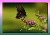 Spicebush Swallowtail on Butterfly Bush