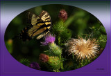 Tiger Swallowtail on Thistle