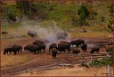 80-  Yellowstone Park Bison