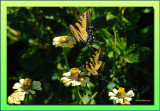 Tiger Swallowtail pair with a friend below