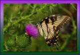 Tiger Swallowtail on Thistle