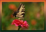 Tiger Swallowtail on Zinnia  / Butterfly season around the corner