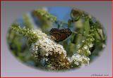 Monarch On Fragrant Butterfly Bush