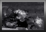 Monochrome Iris  DSC_5065.jpg