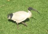 Pointy beak of evil digging death