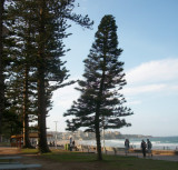 Manly evergreen
