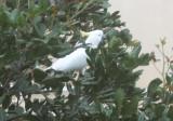 Cockatiel outside my window