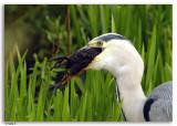 Blauwe Reigers  / Grey Herons