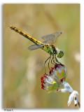 Libellen & Juffers / Dragonflies