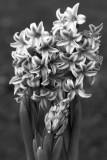 Hyacinth mono