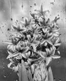 Raindrops and Hyacinth(2)