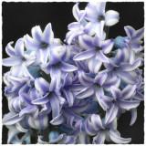 Hyacinth(detail)