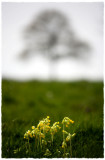 Cowslips and tree, Minchinhampton