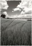 Barleyfield nr Purton, Glos.
