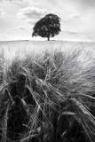 2127-barleyfield(1)