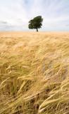 2148-barleyfieldcolour(3)