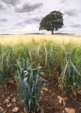 2154-Like Wheat Among Barley