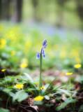 1782-bluebell