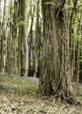 1804-ivy trees