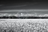 1943-oilseed rape field, mono