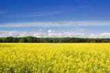 1943-oilseed rape field