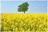 oilseed rape(1)