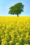 oilseed rape(2)