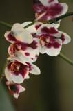 orchid'e2.JPG
