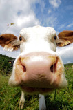 Vaches / Cows
