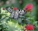 Key West Butterflies