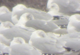 Hybrid Laughing/Ring-billed Gull - Tunica Co. and DeSoto Co. Mississippi