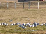 White Christmas Glaucous Gulls - Memphis