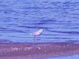 Island 13 - Piping Plovers - 8-23-09