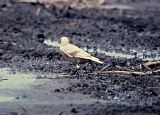 Leucistic - European Starling