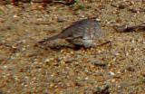 Inca Doves and Golden-crowned Sparrow in Tennessee