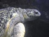 At the Boston Aquarium, Myrtle the Turtle