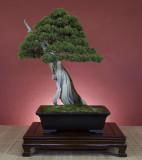 Juniperus californica